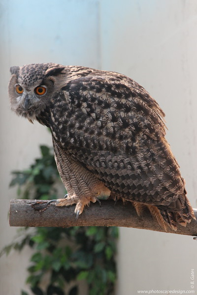 "The Eurasian Eagle-Owl (Bubo bubo is the largest of the ""eared"" or tufted owls with fully-feathered toes and one of only a few species ofowlswith orange eyes.  The scientific name ""bubo"" is descriptive of the male's vocalizations. This is Wally. Here's  Wally when he was 33 days old. So cute :)"