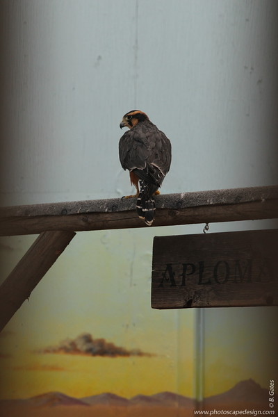 "Northern Aplomado Falcon (Falco femoralis septentrionalis) - Aplomado is Spanish for ""lead-colored"" and alludes to the adult's blue-gray color. The Northern Aplomado Falcon is the only falcon left on the Endangered Species List in the United States."