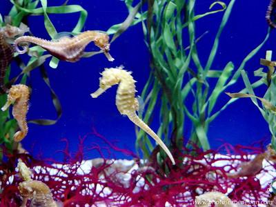 Seahorse - Aquarium of the Pacific - Long Beach, California