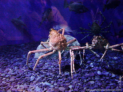 Crab - Aquarium of the Pacific - Long Beach, California