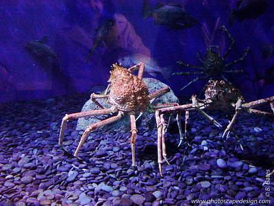 Crab - Aquarium of the Pacific - Long Beach, California