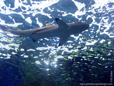 Shark - Aquarium of the Pacific - Long Beach, California