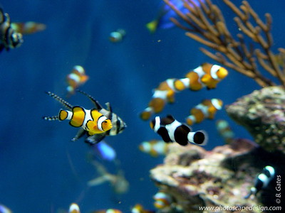 Clown Fish - Aquarium of the Pacific - Long Beach, California