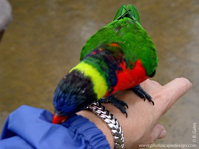 Lorikeet - Aquarium of the Pacific - Long Beach, California
