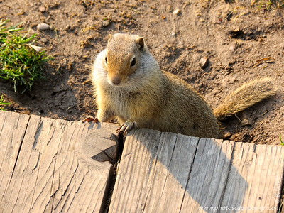 Uinta Ground Squirrel (Spermophilus Armatus) - This little squirrel was in George Washington Memorial Park