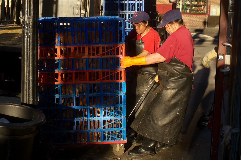 Boston, October 11, 2012: <br /> A fowl exprience - Restaurant workers unload crates of chickens as the sun rises over Chinatown.<br /> Photojournalism students from JO515 at Boston University documented the neighborhood during a two hour class fieldtrip.  Students worked with stills, video and audio.  Photo by Peter Smith
