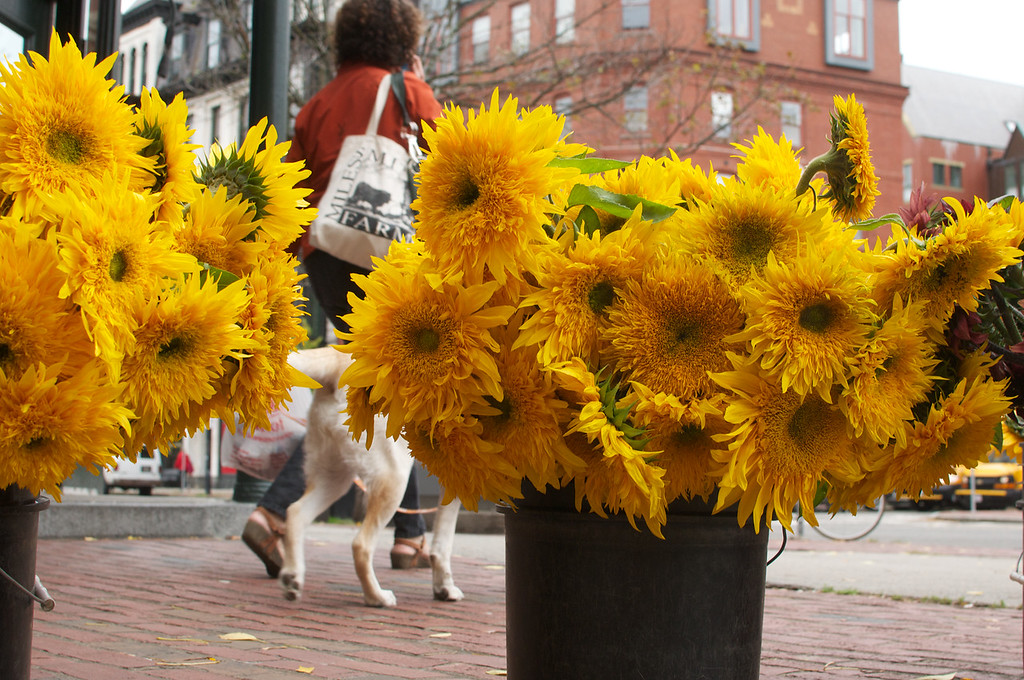 No sun but lots of Sun flowers for South Enders to enjoy on Tremont Street. <br /> <br /> October 9, 2012, photo by: Peter Smith