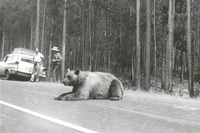 "Labeled ""In Yellowstone Park"" on the back in my maternal grandmother's hand, this photo tells the story of a time now gone. Today you're warned not to feed the bears, to stay away from them. Fifty years ago, begging bears were as much a part of the scenery as the bubbling mud pots and Old Faithful. They'd come up to car windows and mooch whatever road food tourists would share."