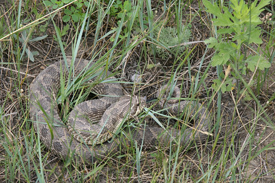 Watch out for the BULLSNAKE!   Nope, that's a Western Hognose (as properly identified by the family snake specialist, Paul Huber). You can tell by the upturned snout, which it uses for digging in the soil, to get to its prey. They feed on amphibians, lizards, and rodents.
