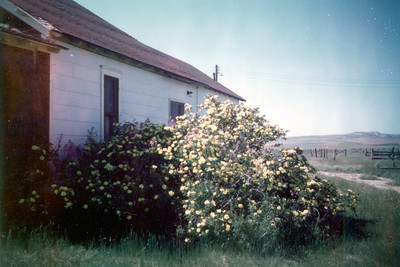 Yellow roses on east side of of Fred's.  Bob & Lynette Janssen transplanted some of the roses to their home east of the homestead.