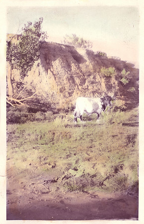 McNierney Livestock, Custer County, Montana: 1940s