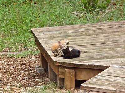 061814-01 Gildenstern, Rosencrantz & Georgette --George Portrait & Sleepy Kittens