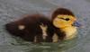 za1-10-17 Hermann Park 454A Muscovy chick-454