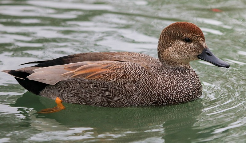 za1-10-17 Hermann Park 259B side view Gadwall duck-259