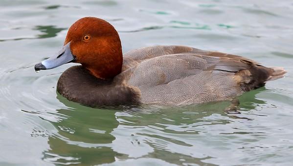 za1-10-17 Hermann Park 594A Redhead Duck-594