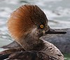 young Hooded Merganser