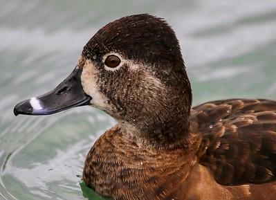 za1-10-17 Hermann Park 239B female Ring-necked duck-239