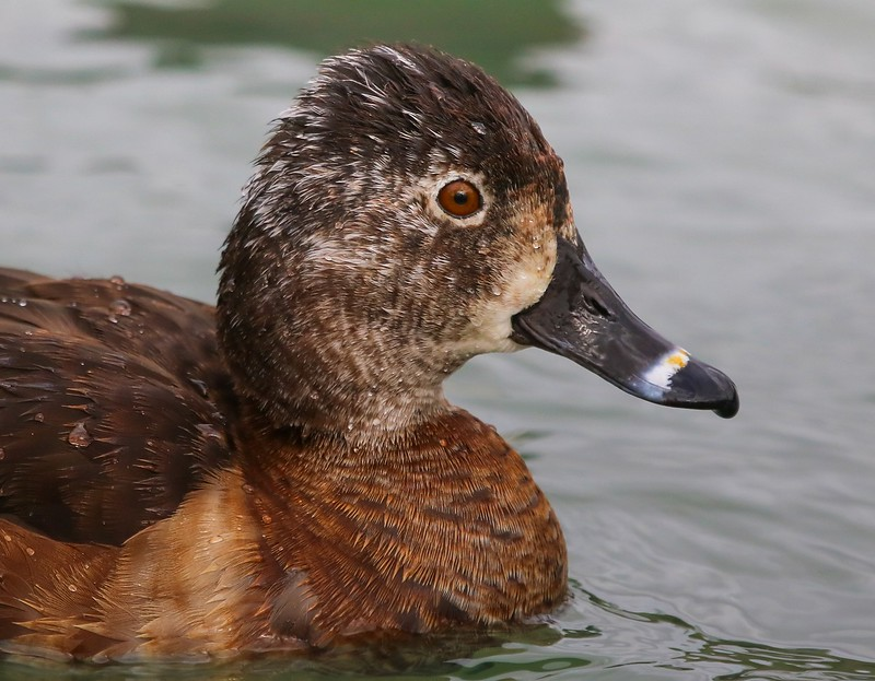 za1-10-17 Hermann Park 083B side face sharp, adult female Ring-necked duck, transition to breeding plumage-083