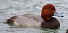 za1-10-17 Hermann Park 576A Redhead Duck-576