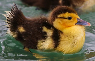 za1-10-17 Hermann Park 209B Muscovy duck chick-205
