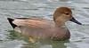 za1-10-17 Hermann Park 586A Gadwall Duck-586