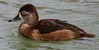 za1-10-17 Hermann Park 448A Ring necked duck-448
