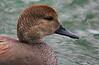 za1-10-17 Hermann Park 260B nice Gadwall duck-260