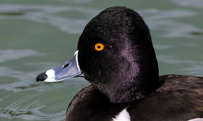 za1-10-17 Hermann Park 075A Ring-necked duck-075