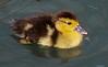 za1-10-17 Hermann Park 141a, Muscovy Duck chick-141