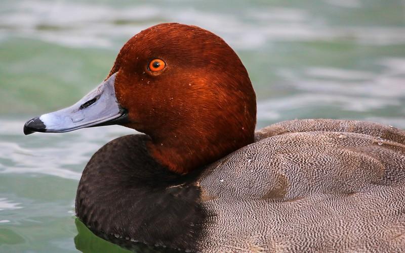 za1-10-17 Hermann Park 116B, adult male Redneck duck-116