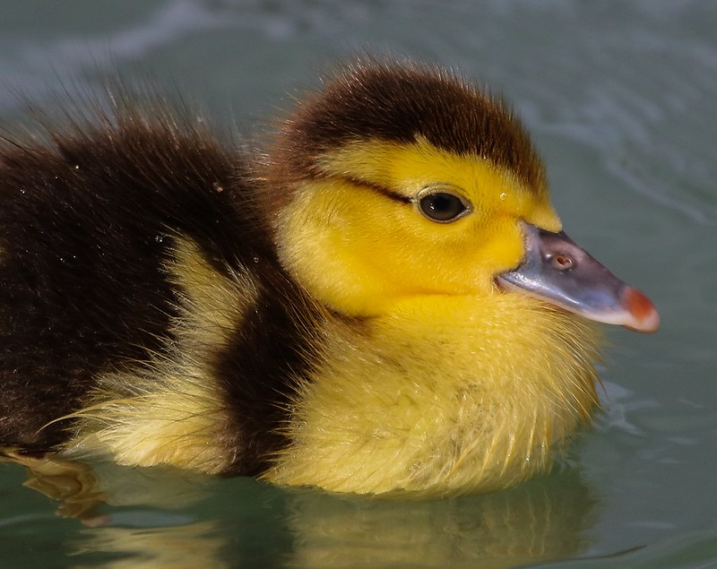 Muscovy duck chick