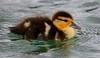 za1-10-17 Hermann Park 156B Muscovy duck chick-156