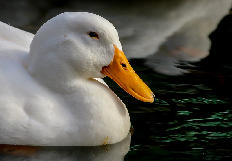 dunnowhich Goose