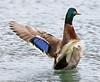 Mallard wing flap