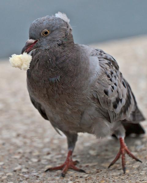 The bread-winner.  Pigeon.