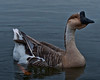 Goose in the early morning light with heavy blue filter of the heavy overcast.