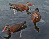 Three Black-bellied Whistling Ducks.