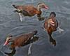 Three Black-bellied Whistling Ducks.