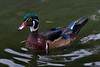 Wood Duck, male.