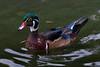 Wood Duck, male.