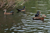 Left to right in background are 1 juvenile male Wood Duck and 2 adult Wood Ducks.  In right foreground is a Black-bellied Whistling Duck.