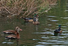 Three Wood Ducks, one juvenile male and two adults and down in the left-hand foreground, two Black-bellied Whistling Ducks.