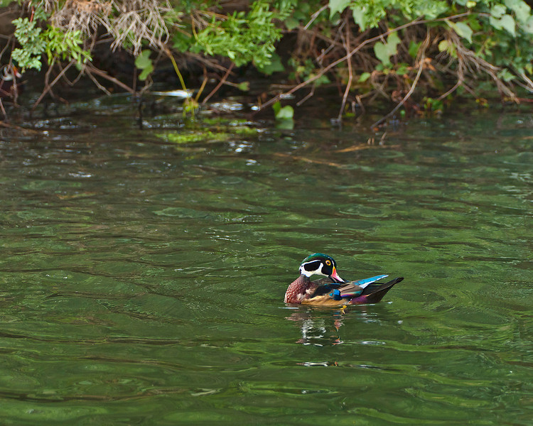 Male Wood Duck during a brief moment when the sun peeped through the overcast sky to affect the color cast.