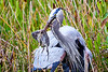 Heron_Eats_Muskrat_Florida_2019_0010