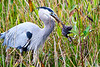 Heron_Eats_Muskrat_Florida_2019_0013