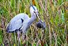 Heron_Eats_Muskrat_Florida_2019_0006