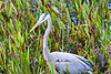 Heron_Eats_Muskrat_Florida_2019_0001
