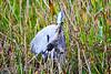 Heron_Eats_Muskrat_Florida_2019_0015