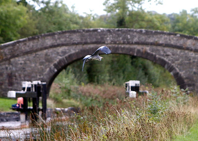 Edenderry Heron Watch! 01st September 2018 Pictures Niall O'Mara