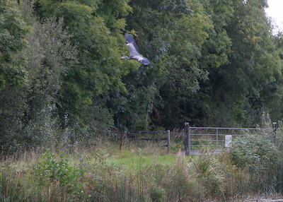 The Heron was a bit wary at first